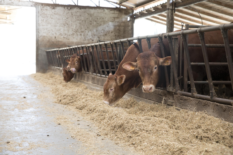 Alimentare i bovini con la farina di cardo: al via la sperimentazione